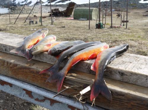 Голец - лососевая рыба, водится в озерах и доступна к лову круглогодично